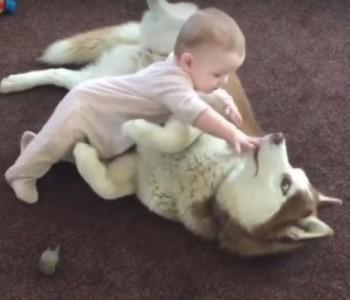 Преслатко видео: Погледнете ја неодоливата игра на оваа хаска и бебе (видео)