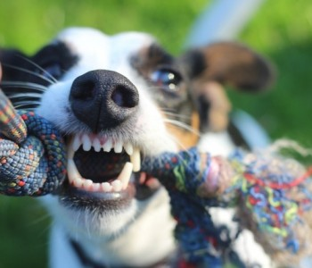 Што треба да направите ако ве нападне куче?