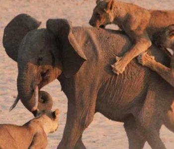 Слонче и чопор лавови: Кој е посилен?