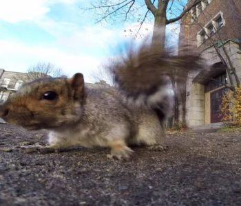 Кога верверица ќе украде GoPro камера (видео)