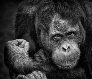 Бегство од затвор: Шимпанза плански побегнаа од зоолошка градина (ВИДЕО)