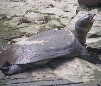 Во Кина умре најретката желка, останаа уште само три во светот (ВИДЕО)