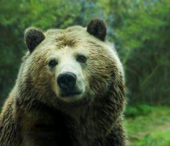 Несекојдневна глетка: Му се степале мечки во дворот (ВИДЕО)