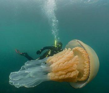 Средба со џиновска медуза (ВИДЕО)