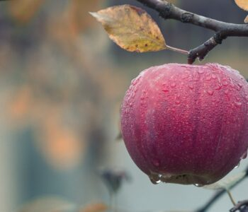 Знаевте ли дека набраните јаболка дишат? Еве како да ги зачувате свежи